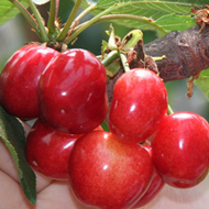 山东特产大红灯樱桃3斤现货